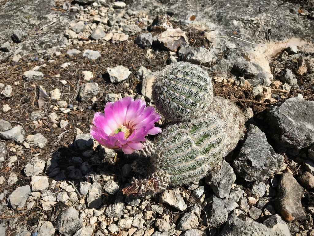 Barrel cactus in bloom in Texas hill country.